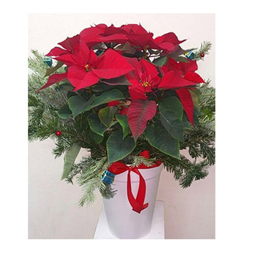 Chilly Poinsettia