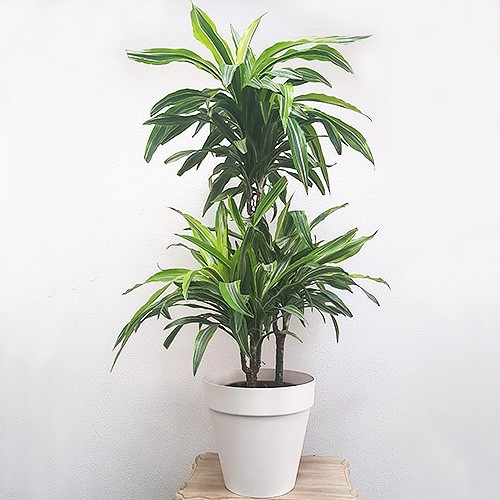 Magnificent Dracaena